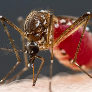 Human blood tastes 'salty and sweet' like caramel to mosquitoes