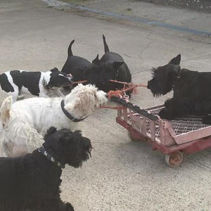 Squeak the Scottie takes bread trolley for a high-speed spin