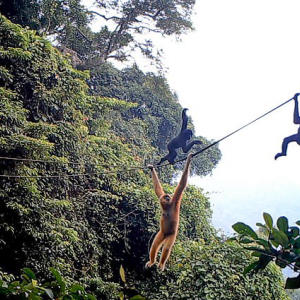 World's rarest ape could be saved by artificial rope bridges